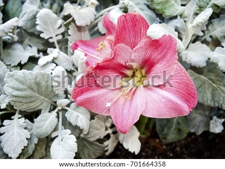 Blooming pink amaryllis flower