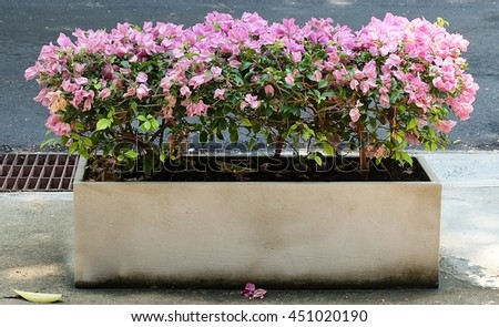 Blooming Pink Bougainvillea Flowers or Paper Flowers in A White Flowerpot. - stock photo
