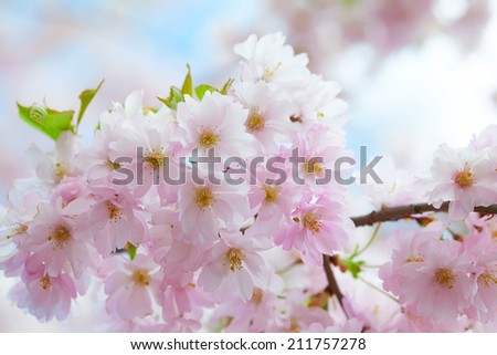 Blooming Pink Cherry blossom against blue sky - Sakura - stock photo