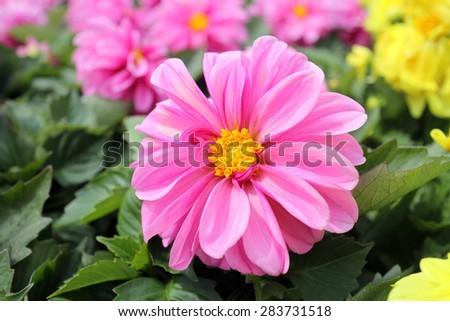 blooming pink dahlia flower in garden - stock photo