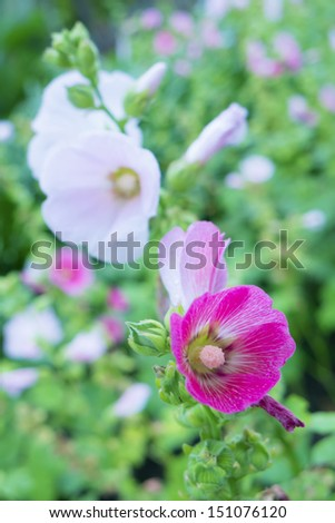 Blooming Pink Flower in the garden - stock photo