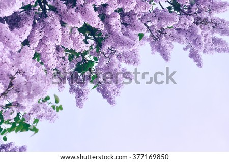 Blooming pink lilac flowers - floral background with free space for text. Pastel and soft focus processing - stock photo