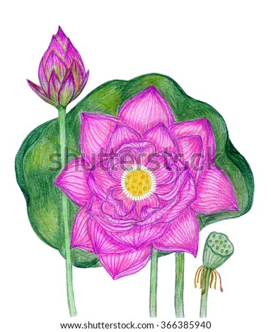 Blooming pink lotus and  lotus bud and with green leaf on the white background . Hand-drawn with colored pencils - stock photo