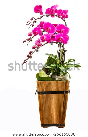Blooming pink orchid background - stock photo