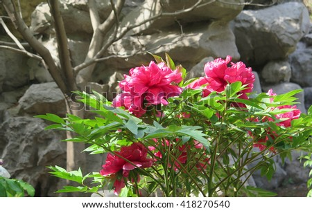 Blooming Pink Peonies with Selective Focus - stock photo