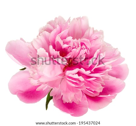 Blooming pink peony isolated on white background. - stock photo