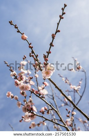 Blooming pink plum blossom - stock photo