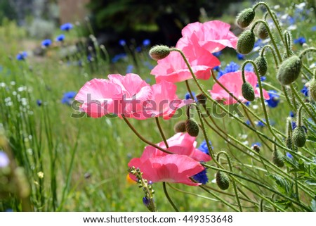 Blooming Pink Poppies - stock photo