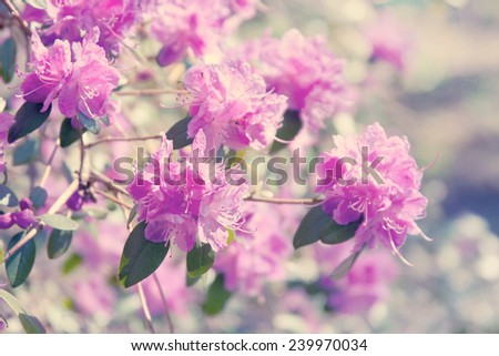 Blooming pink rhododendron - stock photo