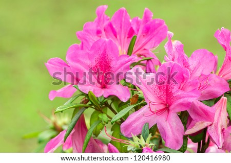 Blooming Pink Rhododendron (Azalea). - stock photo