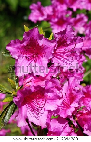 Blooming Pink Rhododendron (Azalea) - stock photo
