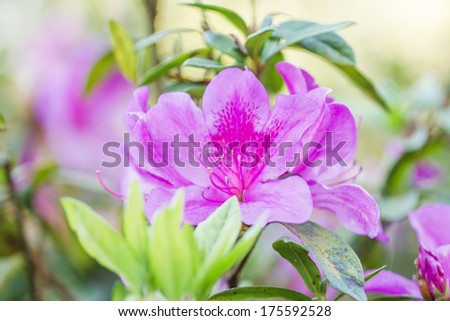 Blooming Pink Rhododendron (Azalea) Afer Rain, close-up, selective focus - stock photo