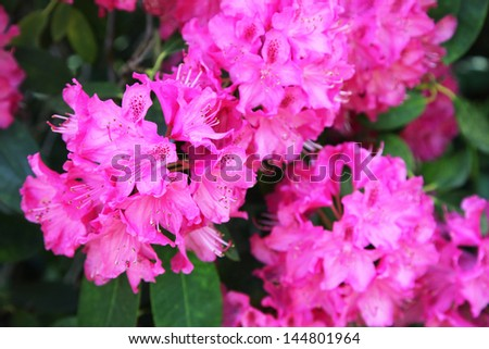 Blooming Pink Rhododendron (Azalea), close-up - stock photo