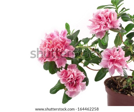 Blooming Pink Rhododendron (Azalea) isolated on white background