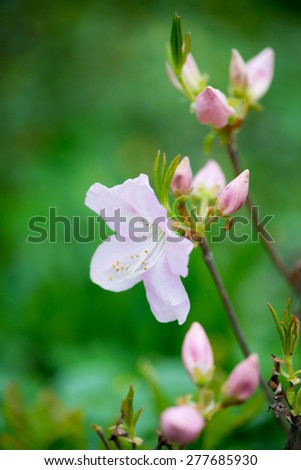 blooming Pink Rhododendron close-up in spring - stock photo
