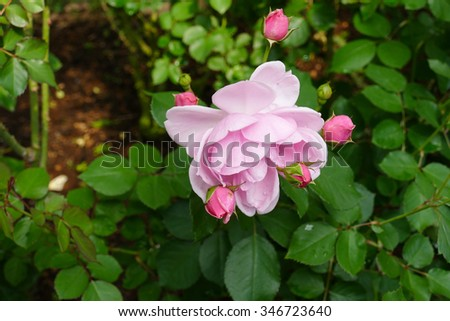 blooming pink rose (Milrose) in the garden - stock photo