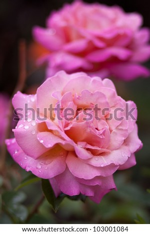 Blooming Pink Roses in Garden