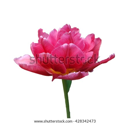 Blooming pink Terry Tulip close-up isolated on a white background.
