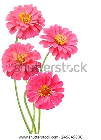 Blooming pink zinnias isolated on white background - stock photo