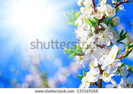 Blooming plum and sun light. Spring time. - stock photo