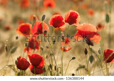 Blooming poppy flowers in a cornfield in summer - stock photo