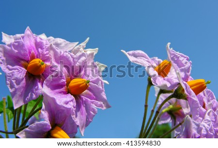 blooming potato plant in the vegetable garden           - stock photo