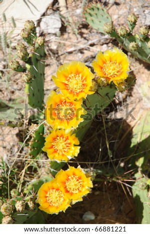 blooming prickly pear cactus - stock photo