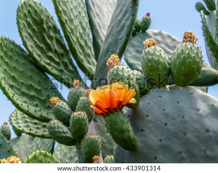 Blooming Prickly Pear with cactus fruits and flowers outdoor closeup in Israel - stock photo