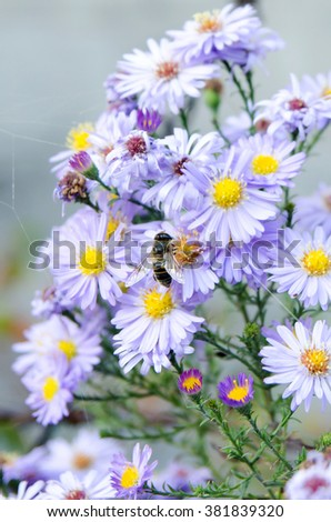 Blooming purple aster in the garden on a bed, care and asters, botany and floristry - stock photo