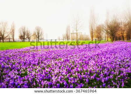 Blooming purple crocus flowers in the park. Spring landscape. Beauty in nature