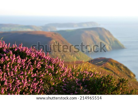 Blooming Purple Heather with Cliffs and sea in background. Beautiful coastline on the Isle of Man - stock photo
