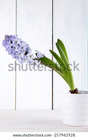 Blooming purple hyacinth  in a flower pot - stock photo
