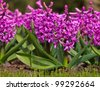 Blooming purple Hyacinth in a garden setting - stock photo