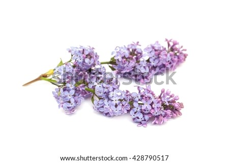Blooming purple lilac branch, isolated on white background