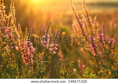 Blooming purple loosestrife (Lythrum salicaria) growing wild in a meadow at sunset time. - stock photo
