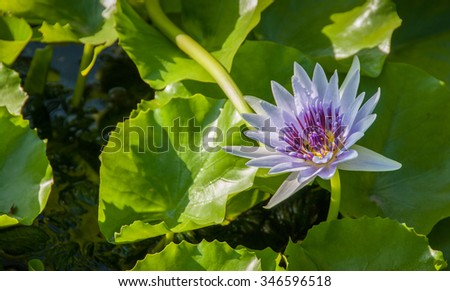 Blooming purple lotus flower surrounded by lush green leaves - stock photo