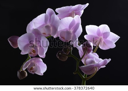 Blooming Purple Orchid Plants on black - stock photo