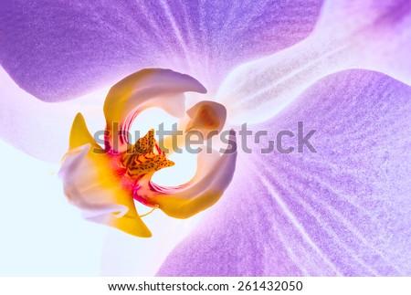 Blooming purple orchids flower. Phalaenopsis. Closeup. - stock photo