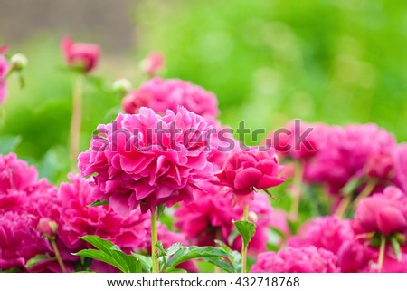 blooming purple peony, lush flower beds in the garden - stock photo