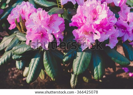 Blooming purple rhododendron - stock photo