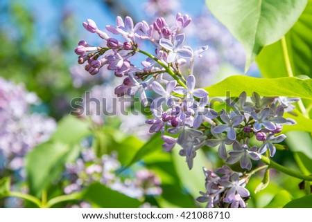 Blooming purple violet flowers. Lilac flower springtime landscape. soft focus. Lilac flowers bunch macro view. Springtime composition. - stock photo