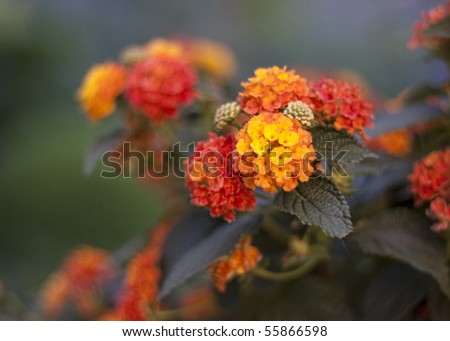 Blooming red and yellow Lantana - stock photo