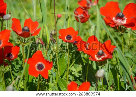 Blooming red anemones on green grass. Natural floral background - stock photo