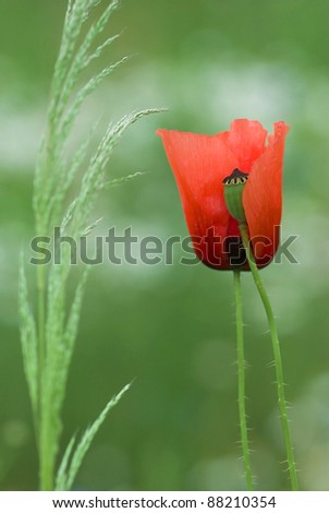 blooming red poppies on field