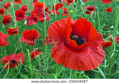Blooming red poppies on green field in summer (detailed red on foreground blossom).