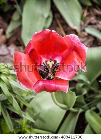 Blooming red tulip in the spring garden. Seasonal natural scene. Beauty in nature. - stock photo