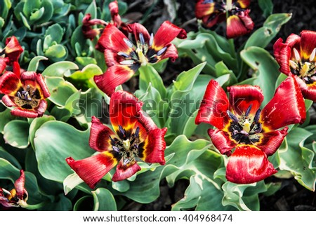 Blooming red tulips planted in the spring garden. Natural scene. - stock photo