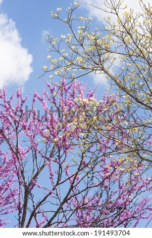 Blooming Redbud Trees and Dogwood Trees against a blue sky. - stock photo