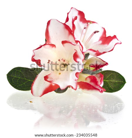 Blooming Rhododendron (Azalea) close-up isolated on a white background - stock photo