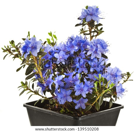 Blooming Rhododendron (Azalea) in black plastic pot box on a white background - stock photo